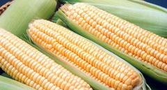 Супер Санданс F1 семена кукурузы (Clause / Клос)