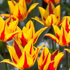 tulip-Firework-01