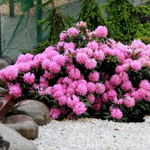 Рододендрон катевбинский Розеум Элеганс (Roseum Elegans) (С2)