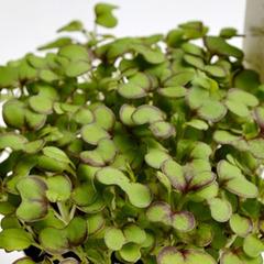Семена для проращивания горчицы листовой красной Кампари (Гавриш)