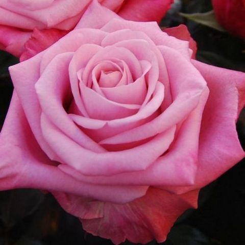 Роза чайно-гибридная Дип Ватэ (в тубе)
