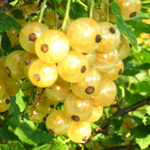 Смородина белая Урожайная (2-летняя) ОКС