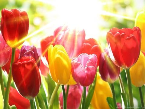 Картина раскраска по номерам 40x50 Яркие тюльпаны (арт. Y5021)