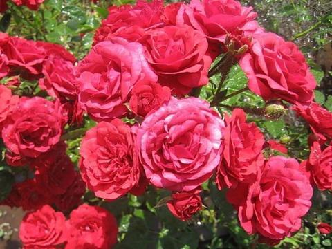 Роза флорибунда Стромболи (в тубе)