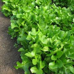 Кредо семена салата дуболистного (Гавриш)