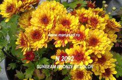 Хризантема мультифлора (шаровидная) Sunbeam Bronze Bi-color №2092