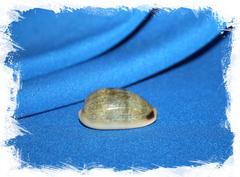 Обыкновенная ципрея (Erronea caurica)