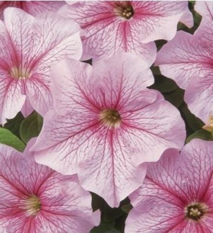 Семена Петуния грандифлора Дэдди Пеперминт, 10 драже,Одн