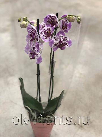 Фаленопсис Чарминг Розовый, 2 ветки