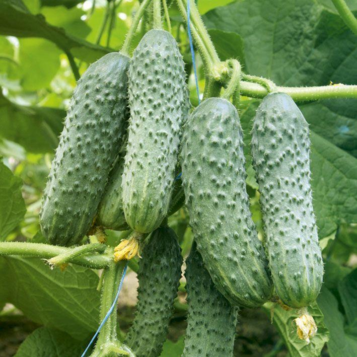 Гавриш Мамлюк F1 семена огурца партенокарпического (Гавриш) Мамлюк_1_семена_овощей_оптом.jpg
