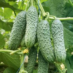 Мамлюк F1 семена огурца партенокарпического (Гавриш)