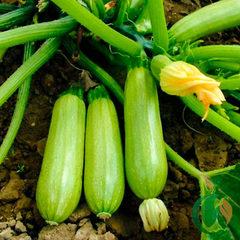 Семена кабачка Искандер F1,  Seminis, 5 шт.