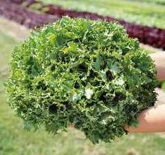 Канкан семена салата листового (Hazera / Хазера)
