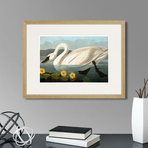 Джон Джеймс Одюбон - Common American Swan (white), 1838г.