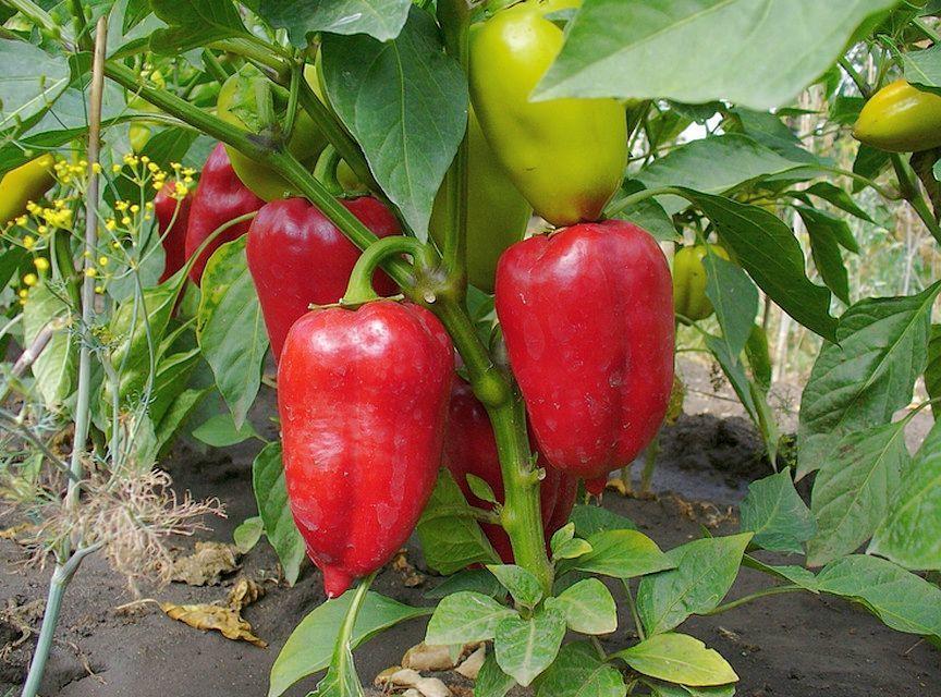 Перец Ирэн F1 семена перца сладкого (Enza Zaden / Энза Заден) Ирэн_F1.jpg
