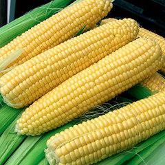 Cемена кукурузы сахарной Супер Санданс F1, Clause, 10 шт.