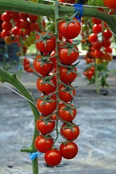 Томат Скляри F1 семена томата индетерминантного (Vilmorin / Вильморин) СКЛЯРИ_F1__G488F1__семена_овощей_оптом.jpg