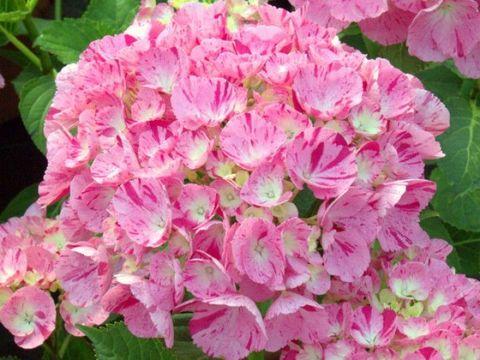 Гортензия крупнолистовая  (цветёт всё лето) Фентези