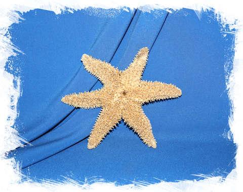 Морская звезда Писастер охрацеус, Pisaster ochraceus, Ochre Star