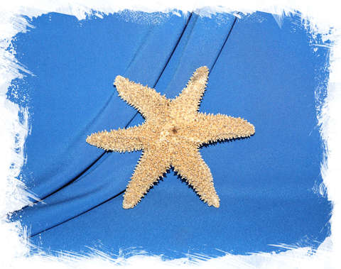 Морская звезда Писастер охрацеус (Pisaster ochraceus)