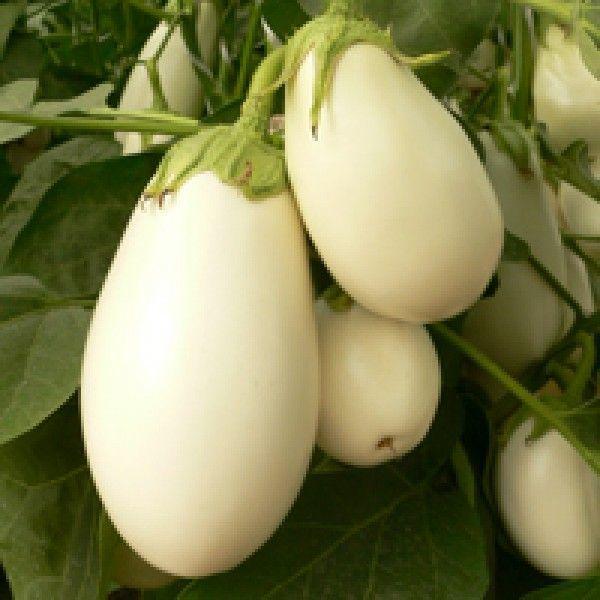 Баклажан Бибо F1 семена баклажана (Seminis / Семинис) Бибо_F1_семена_овощей_оптом.jpg