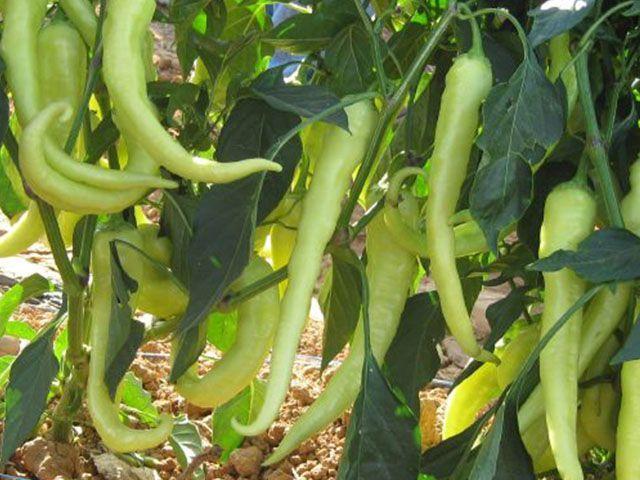 Перец Гомера F1 семена перца острого (Enza Zaden / Энза Заден) Гомера_F1_семена_овощей_оптом.jpeg