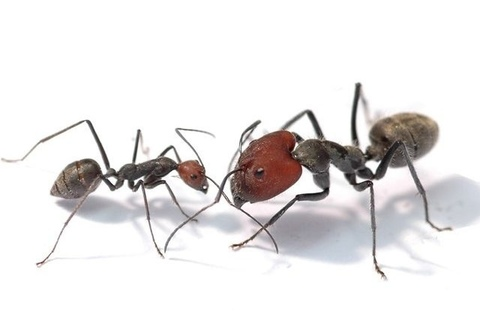 Camponotus singularis