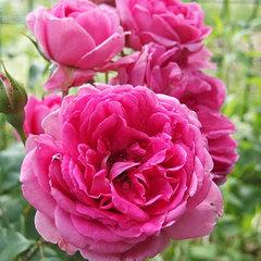 Роза плетистая Парад Parade