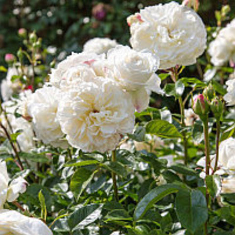 Роза пионовидная Транквилити С3