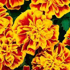 Семена цветов Бархатцы отклоненные Бонанза Би, PanAmerican Seed, 15 шт.