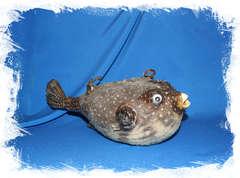 Рыба попугай декоративная. Купить