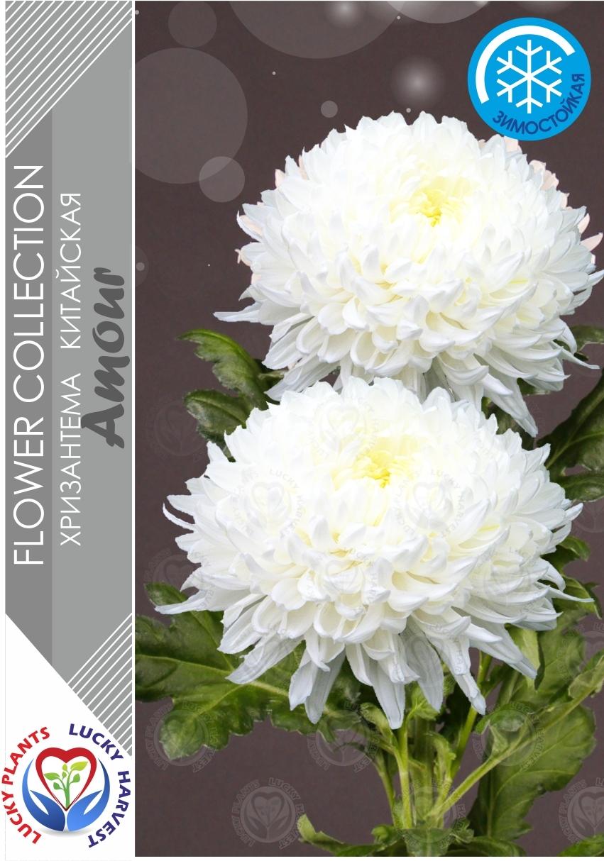 Хризантема  крупноцветковая китайская