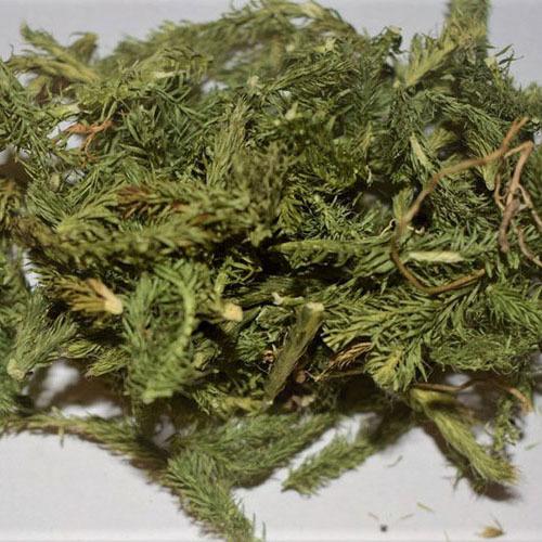 Травы Плаун-баранец huperzia-489.jpg