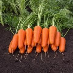 Каспий F1 семена моркови курода/шантане (Bejo / Бейо)