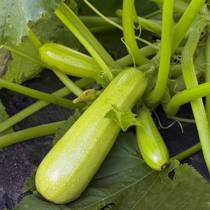 Кабачок Каризма F1 семена кабачка (Syngenta / Сингента) каризма.jpg