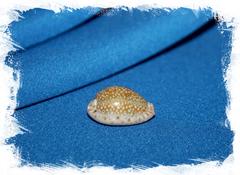 Ципрея океллата (Naria ocellata)