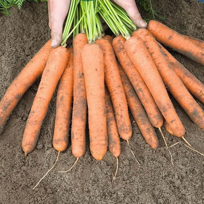Нантская Найджел F1 семена моркови нантской (Bejo / Бейо) найджел_1.jpg
