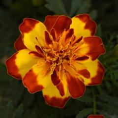 Семена цветов Бархатцы отклоненные Фламенко, PanAmerican Seed, 15 шт.