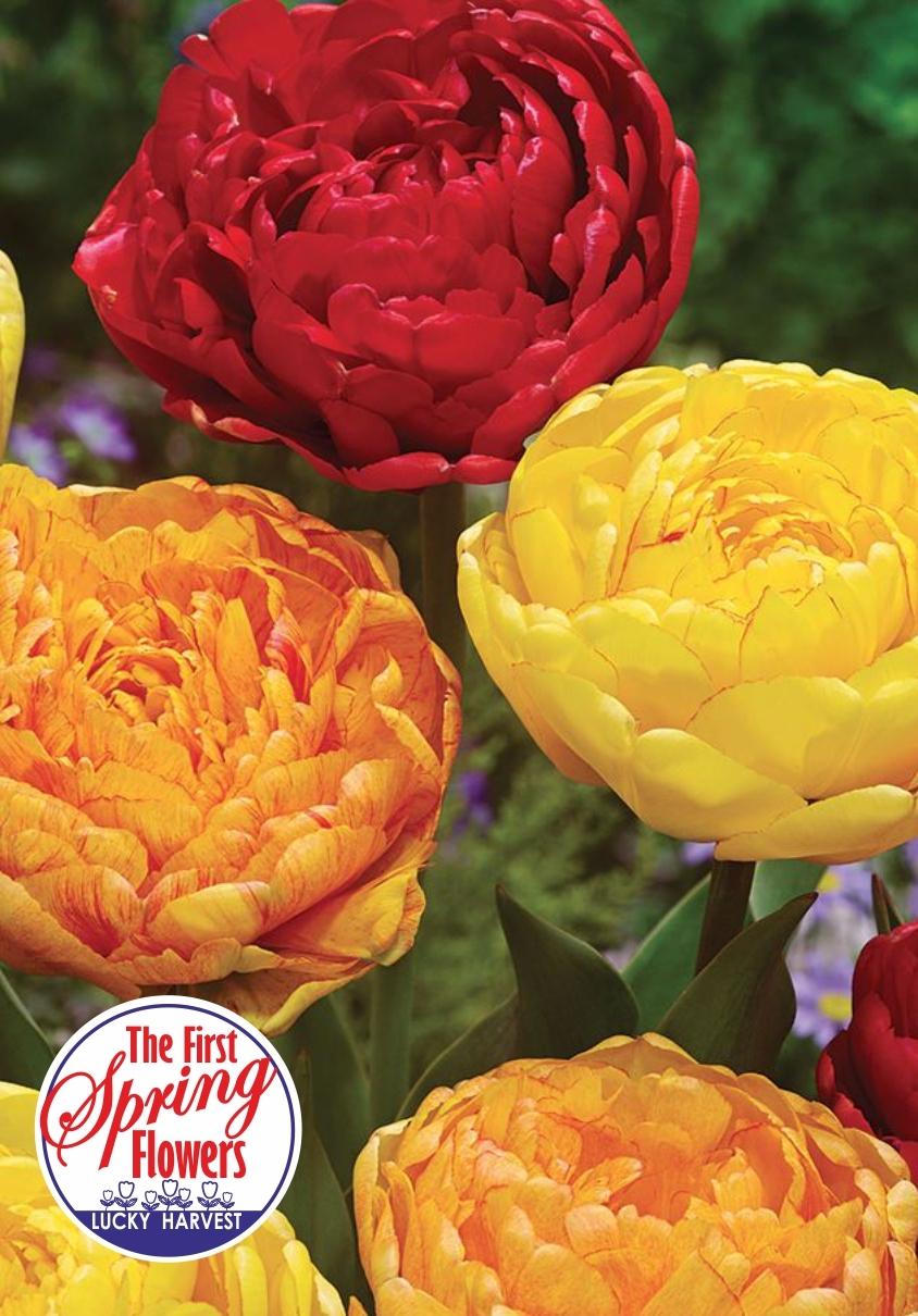 Тюльпан   Махровый Поздний   Orange Boom  ( Оранж Бум)  Jan de Wit en Zonen B.V. Нидерланды 3 шт.