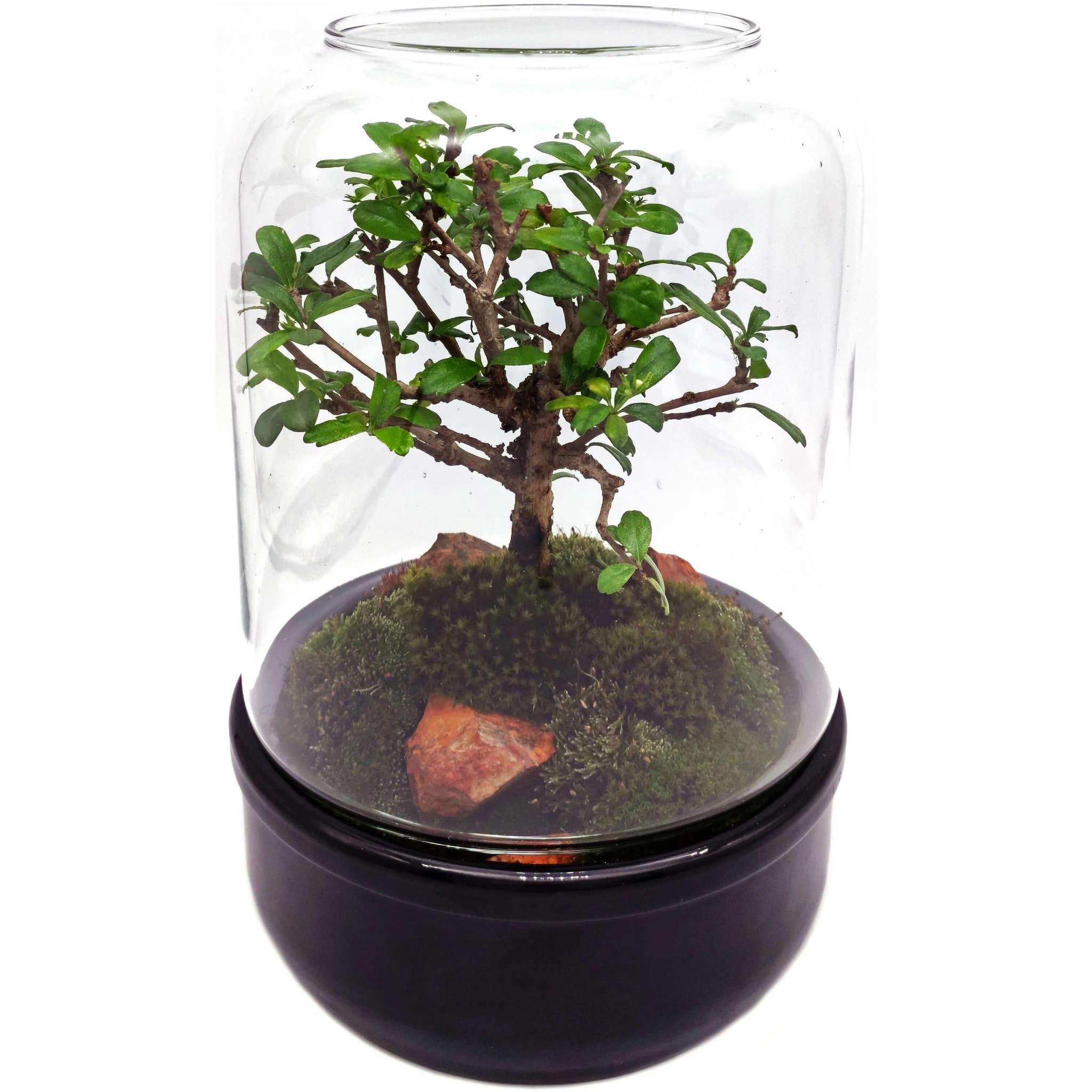 Флорариум стеклянный Шантал D16 H25 пример с растением 2