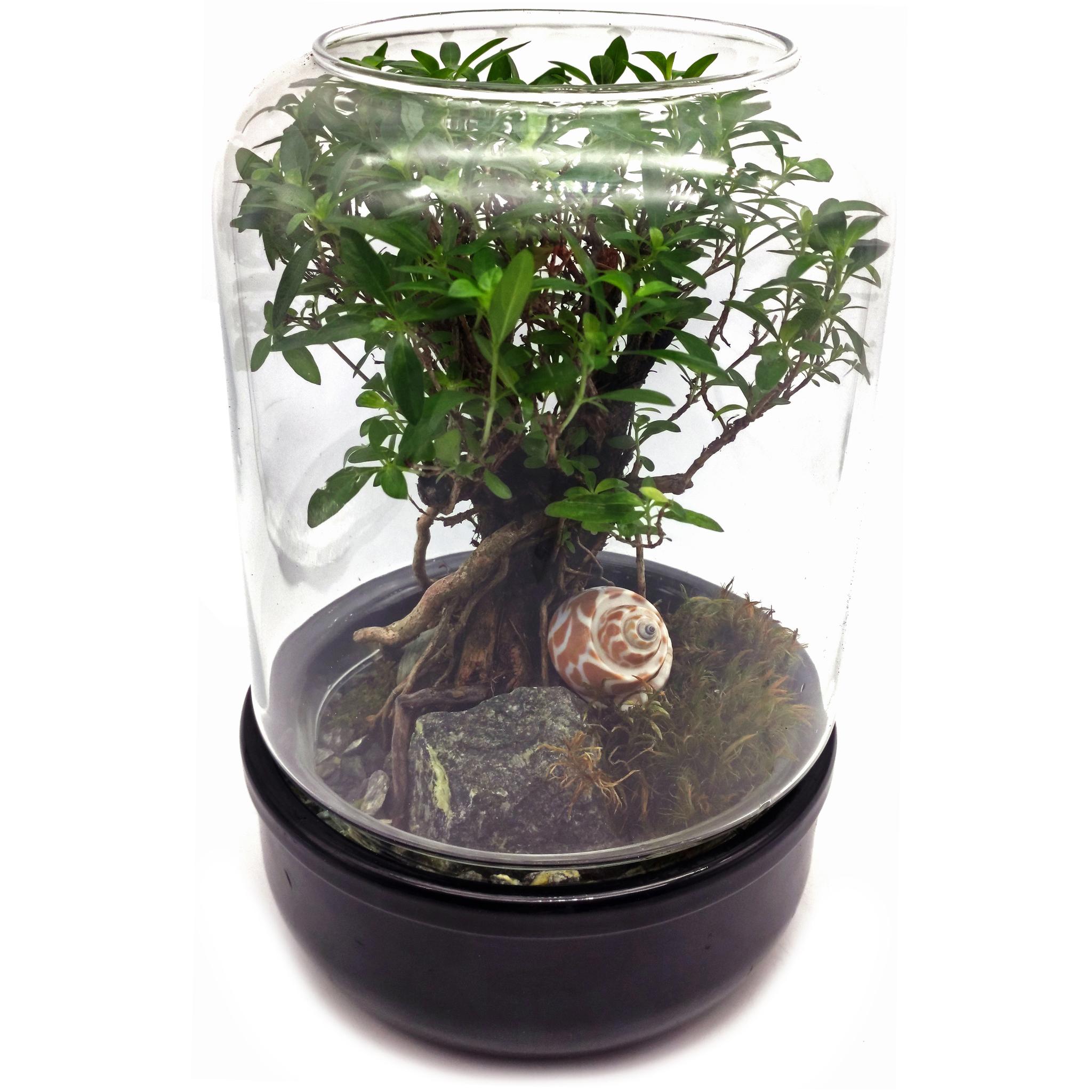 Флорариум стеклянный Шантал D16 H25 пример с растением 3