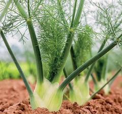 Феномен семена фенхеля (Гавриш)