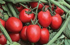 Капорал F1 семена томата детерминантного (Vilmorin / Вильморин)