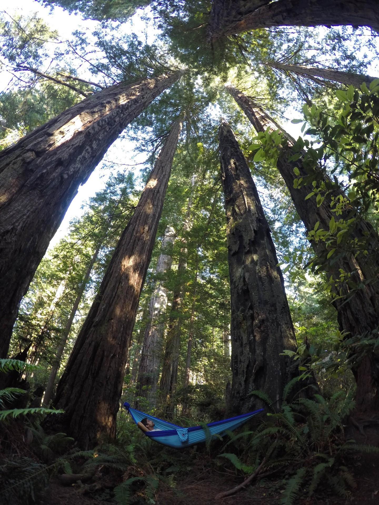 Вековые деревья и я в гамаке.