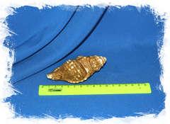 Циматиум корругатум (Cymatium corrugatum) размер