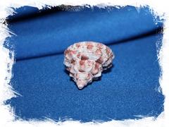 Трохус феррейрай (Trochus ferreirai)