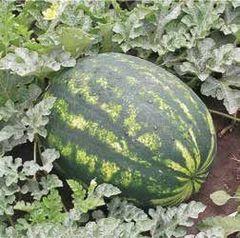 Варда F1 семена арбуза (Hazera / Хазера)