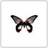 Papilio Rumanzovia – Парусник Румянцева