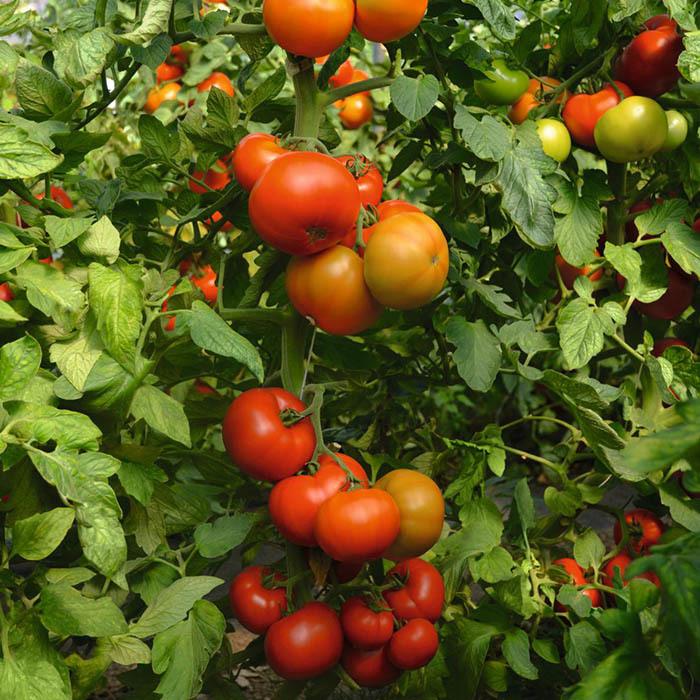 Томат Тобольск F1 семена томата индетерминантного (Bejo / Бейо) тобольск_1.jpg