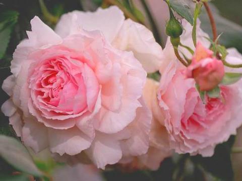 Зе Веджвуд Роуз The Wedgwood Rose